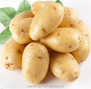 factory exports large holland potato in China