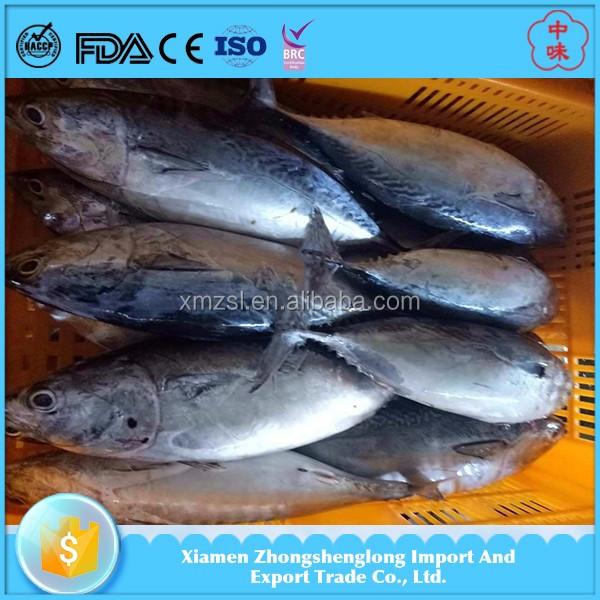 High quality whole round frozen skipjack bonito tuna fish for Tuna fish price