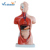 Dual sex torso 85CM (23parts) human mannequin torso/human body anatomy model