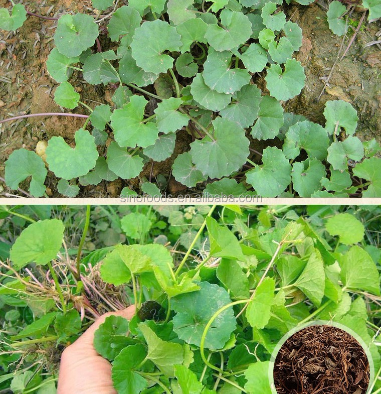Ji Xue Cao Factory Supply Cheap Centella Asiatica Raw Herb