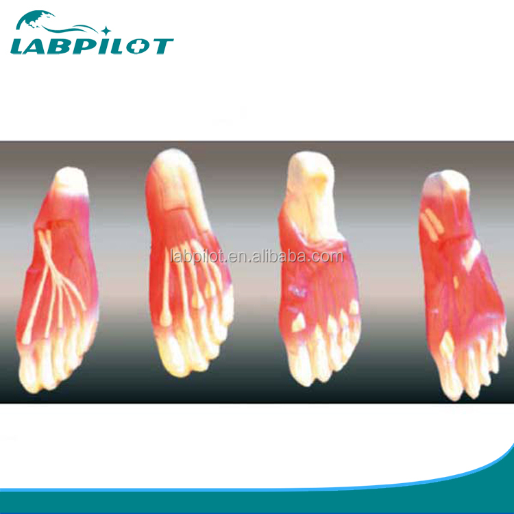 Human Anatomy Foot Human Anatomy Foot Suppliers And Manufacturers