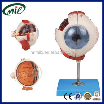Medical Human Eyeball Simulator,5 Times Enlarged Eyeball Model - Buy ...
