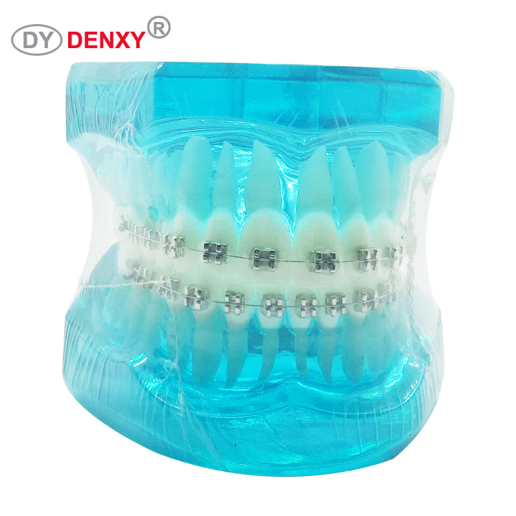 Denxy Dental Study dental orthodontics teeth model / ortho teeth tooth model
