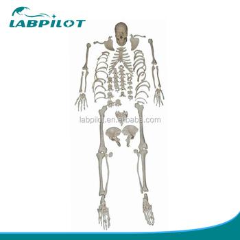 Desarticulado Modelo De Esqueleto De Cuerpo Entero,Desarticulado ...