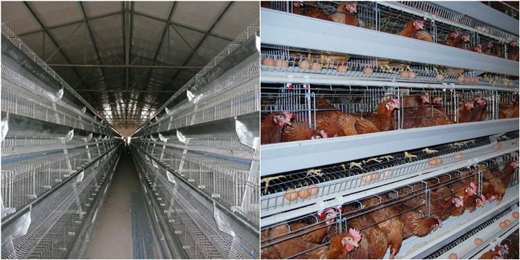 chicken cage 9.jpg