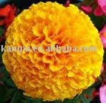 Herbal extract/Marigold P.E.