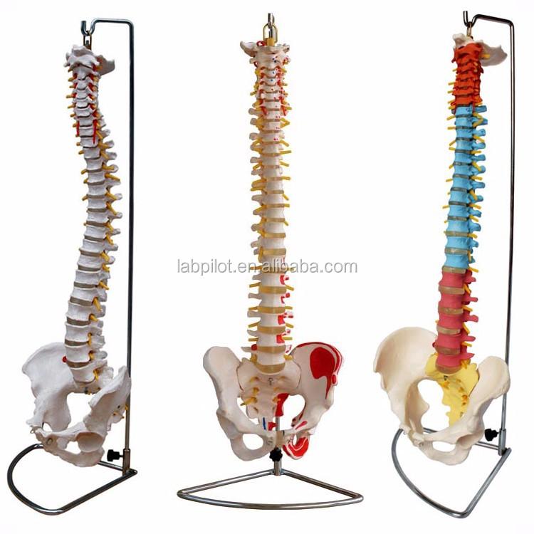 Neue Stil Wirbel Wirbelsäule Modell Modell Mit Muskeln Anatomie ...