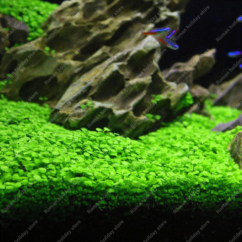 Popular Tropical Aquarium Plants Buy Cheap Tropical