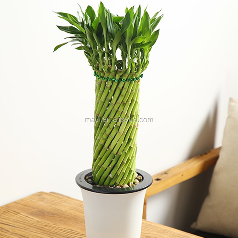 Lucky Bamboo Plants For Sale - Buy Indoor Tropical Plants,Lucky ...