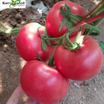 Elegant Sweet Best Tomato Seed Hybrid For Greenhouse and Open Field, View  hybrid tomato seeds, Kate Seed Product Details from Shouguang Kate Seed  Co ,