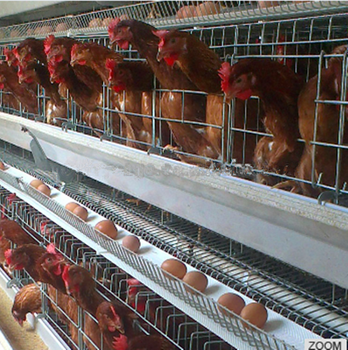 Cold Galvanized Capacity 96 Eggs Cage Laying Hens For Sale - Buy Cage  Laying Hens,Cage Laying Hens For Sale,96 Eggs Cage Laying Hens Product on