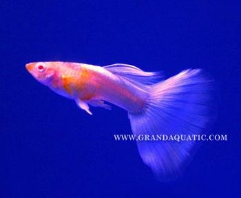 Guppy Fish / Ornamental Fish Exporter