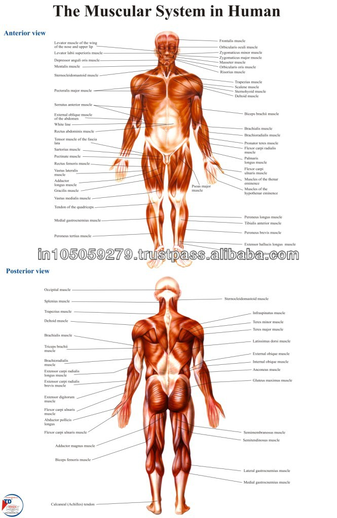 The Muscular System In Human Buy Human Muscular System