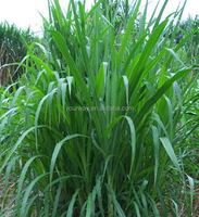 Perennial Ryegrass, Lolium, Flower seeds, Herb seed, Vegetalbe seed, Fruit seed, Grass seed