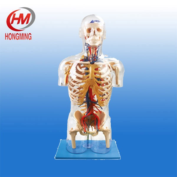Transparent torso PVC model with main neural and vascular structures,human torso model