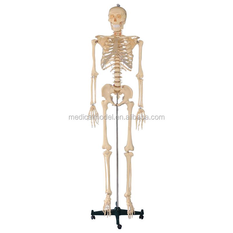 Finden Sie Hohe Qualität Echten Skelett Hersteller und Echten ...