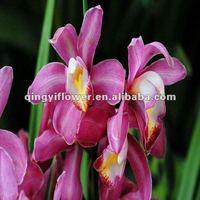 Natural Plants Orchid Plant For Wholesale