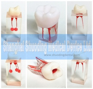 1:1 Resin Dental Endodontic Student Study Practice Operation teeth Model with Colored Root Canal and Pulp Transparent