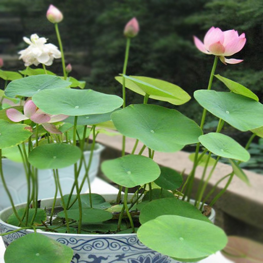 New lotus flower seeds and water lily seeds for planting and sale new lotus flower seeds and water lily seeds for planting and sale wholesale izmirmasajfo