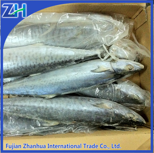 frozen spanish mackerel canned fish whole round sale