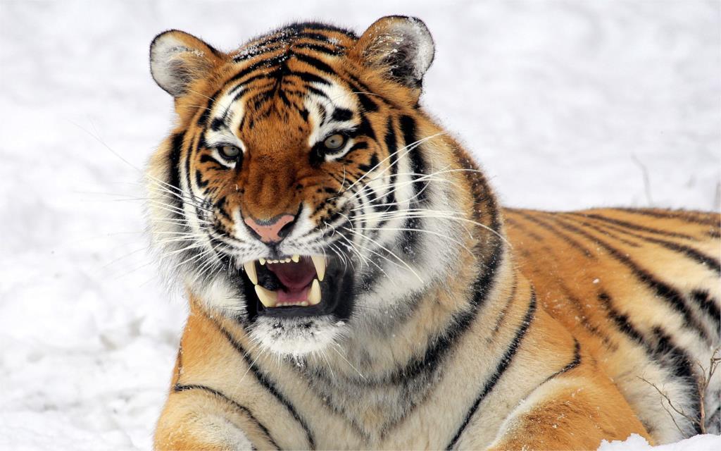 wild tiger king of predator snow <font><b>winter</b></font> <font><b>Home</b></font> <font><b>Decoration</b></font> Canvas Poster Print