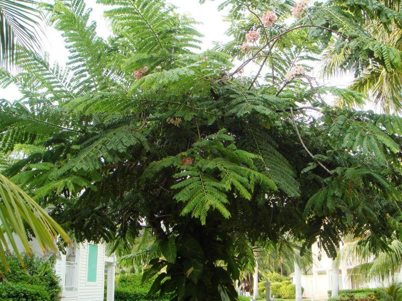 Derris Robusta (qg) Seeds,Flame Tree Seeds Hindi (korai ...
