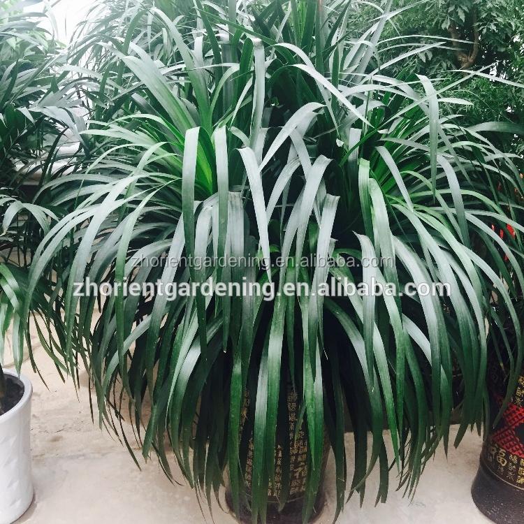 Subtropical Natural Plant Dracaena Draco Bonsai Angustifolia For Indoor Decoration Decorative Plants Ornamental Foliage