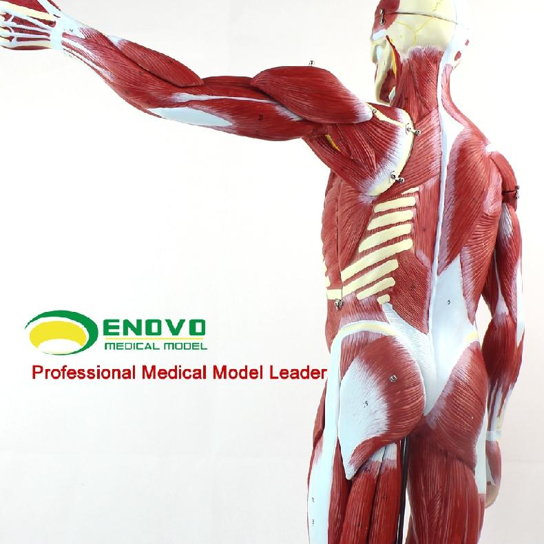 Venta al por mayor anatomia humana organos-Compre online los mejores ...