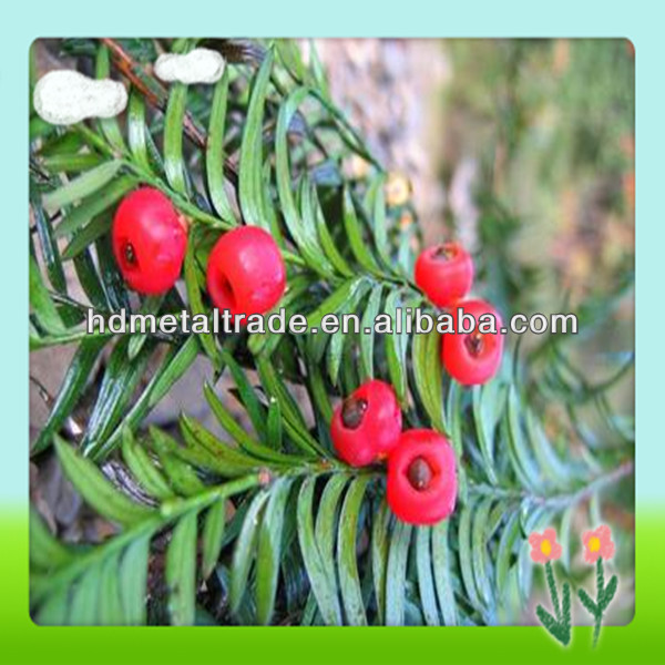 Chinese Yew Extract