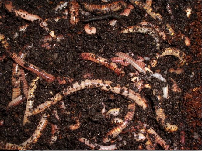 vermicompost fertilizers ile ilgili görsel sonucu