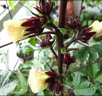 High Quality Roselle Seeds Hibiscus Seeds Chinese Flower Seeds For Growing Buy Roselleroselle Seedroselle Seeds Product On Alibabacom