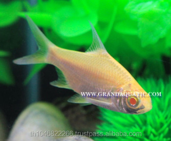 Albino Tinfoil Barb Fish For Sale / Aquarium Fish Farm