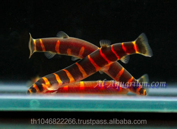 Giant Coolie Loach Fish / Aquarium Fish Farm
