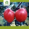 wholesale organic apples fresh red qinguan apple for sale