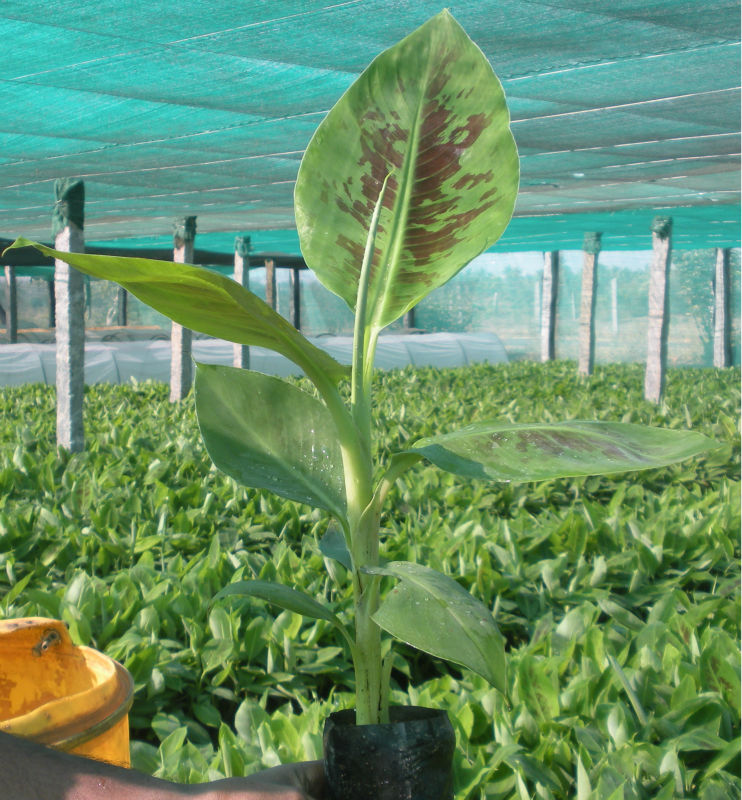 Tissue Culture Banana Images Photos