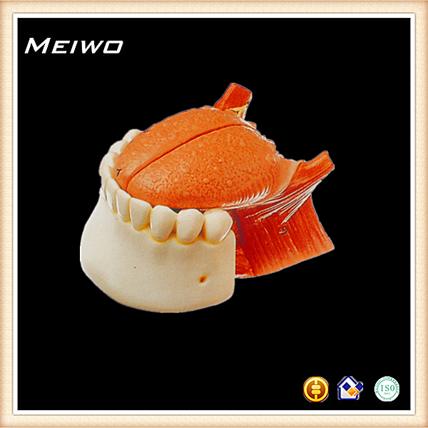 modelo de la mandíbula de la raíz de la lengua de la anatomía humana ...