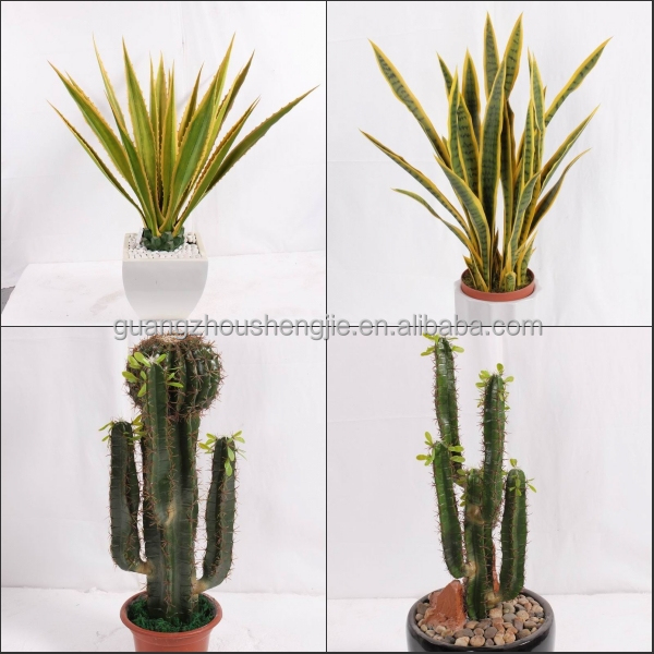 Sjh012117 Indoor Cactus Plants Large Cactus Indoor Plants