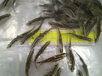 Buy HYBRID Grouper Fingerlings (Giant grouper x Tiger grouper) in ...