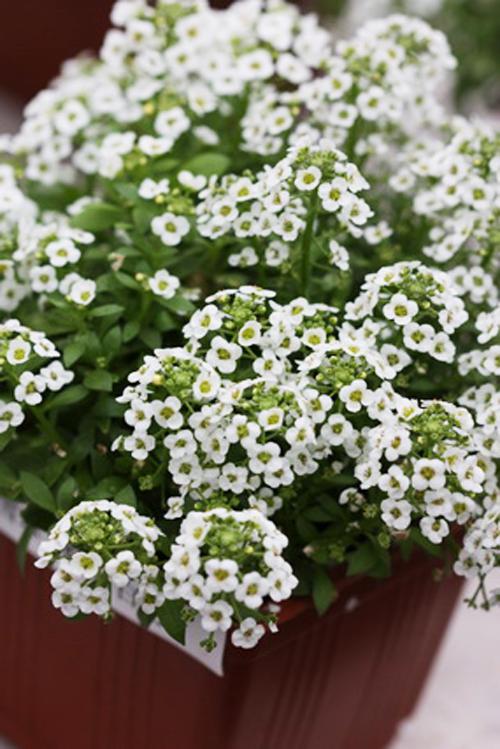 Online Kaufen Gro 223 Handel Alyssum Flower Aus China Alyssum