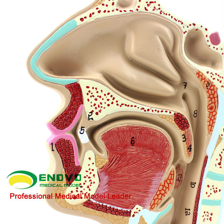 Throat05(12511) Human Ent Physiology Nasal Cross Section Anatomy Model Of Nose Throat - Buy Human Body Anatomy Model,Human Anatomy Organ ...