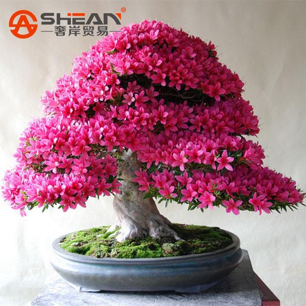8b42d21e2 Azaleia Rhododendron Simsii – MyBonsai.com.br