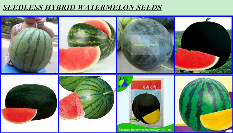 High yield JinDi yellow watermelon seeds for growing