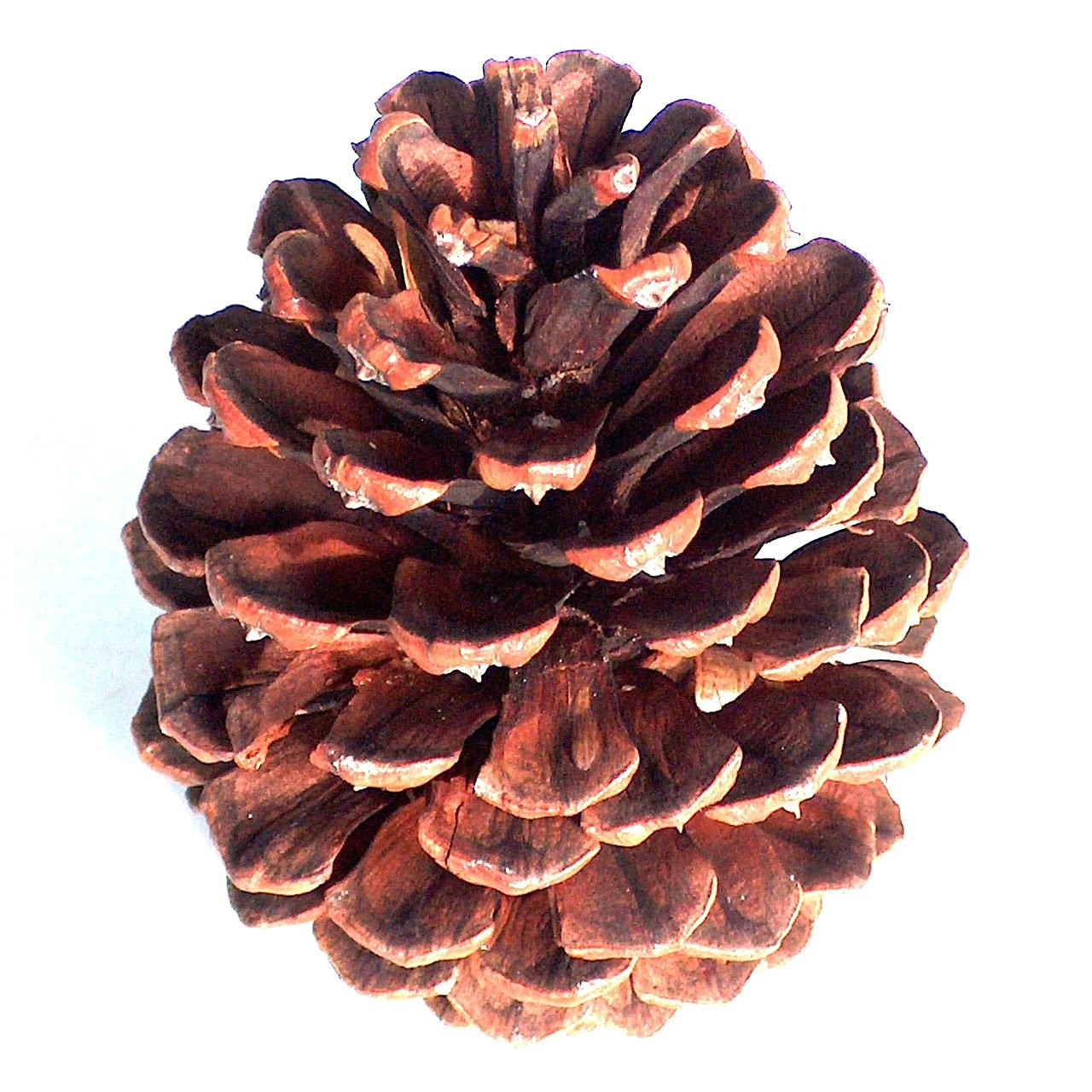 pine cone crafts cheap types pine cones find types pine cones deals on 2682