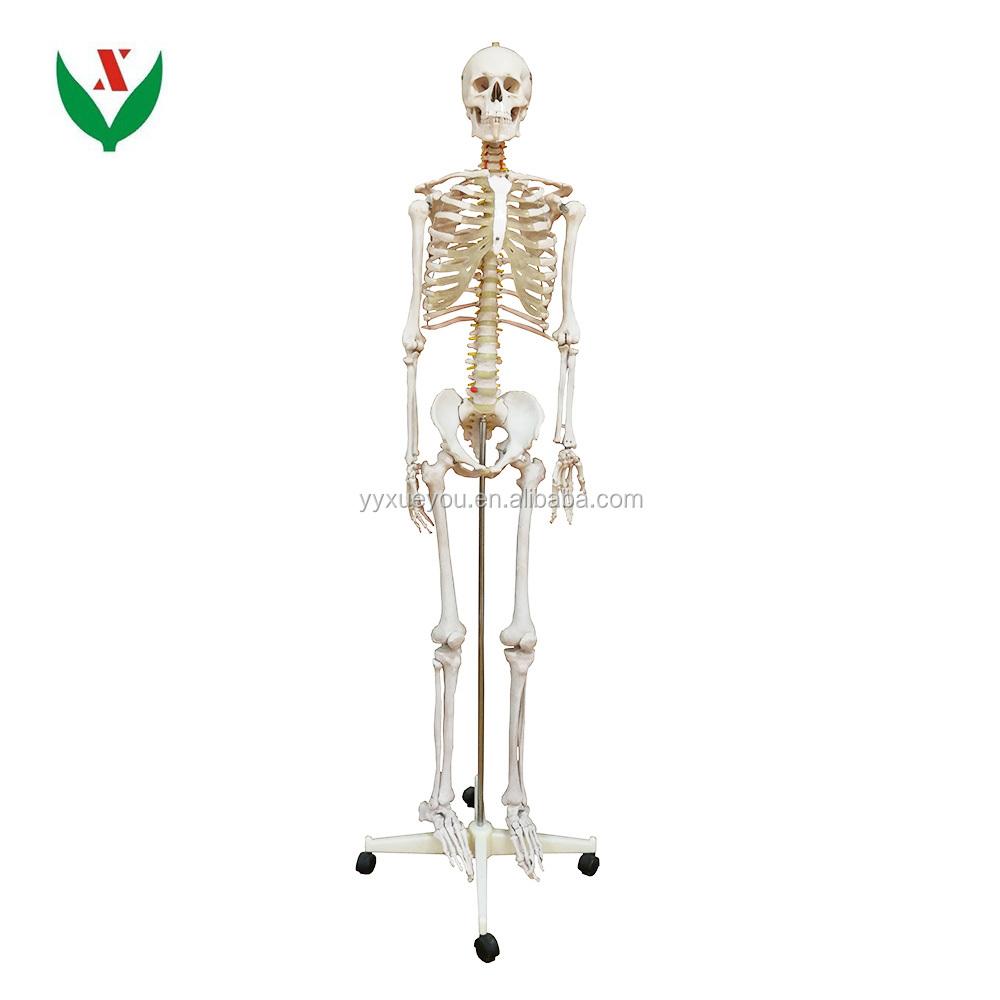 Artificial Human Skeleton Biological Anatomical Model Buy Human