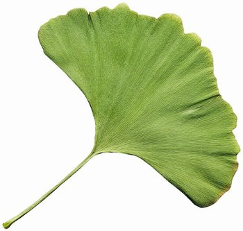 ginkgo leaves aromatic incense buy ginkgo product on alibaba com