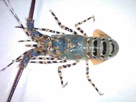 Hasil gambar untuk lobster mutiara adalah