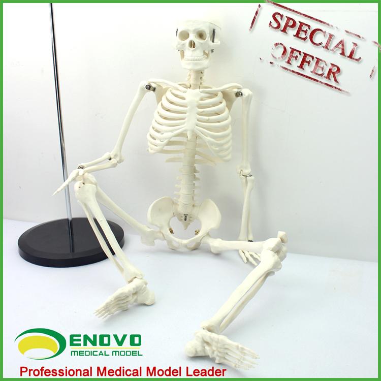 Modèles D\'enseignement En Plastique Squelette Humain Anatomie Avec ...