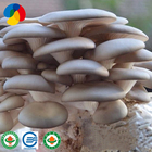 Farm organic fruitwood grey oyster mushroom spawn logs/seeds for fresh oyster mushroom price export
