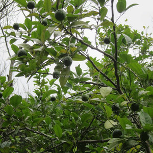Touchhealthy supply Lemon seeds for planting as fruit tree seeds