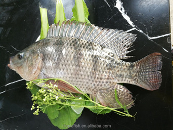 High quality fresh tilapia fish buy tilapia fish tilapia for Is tilapia fish good for you